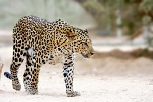 Leopard_spots